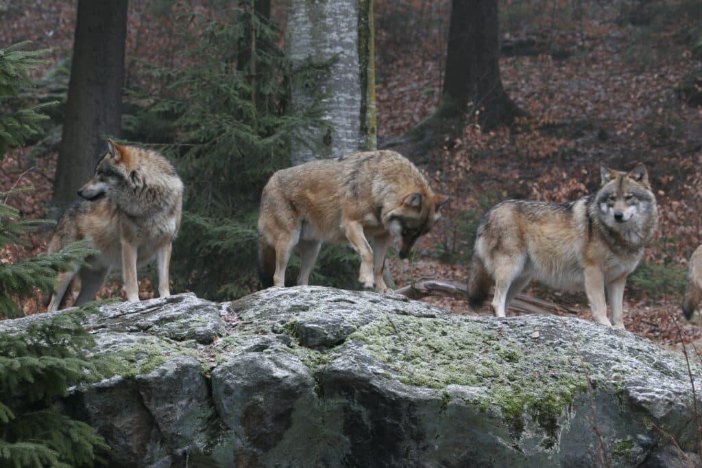 Wölfe stehen auf einem Felsen - Canis lupus