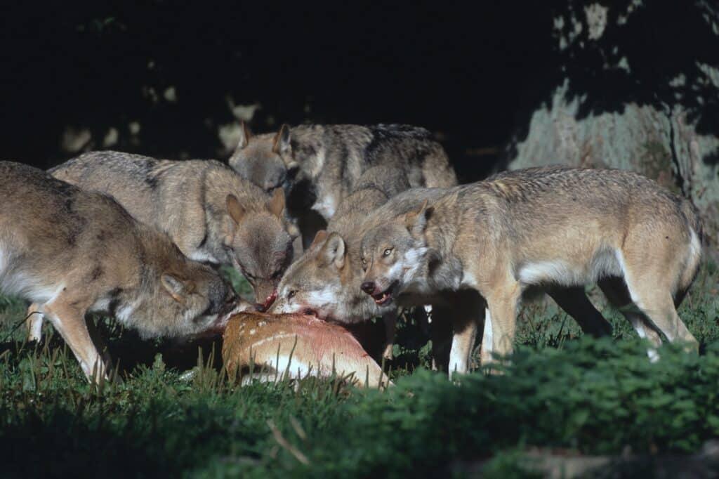 Wölfe an Beute - Canis lupus