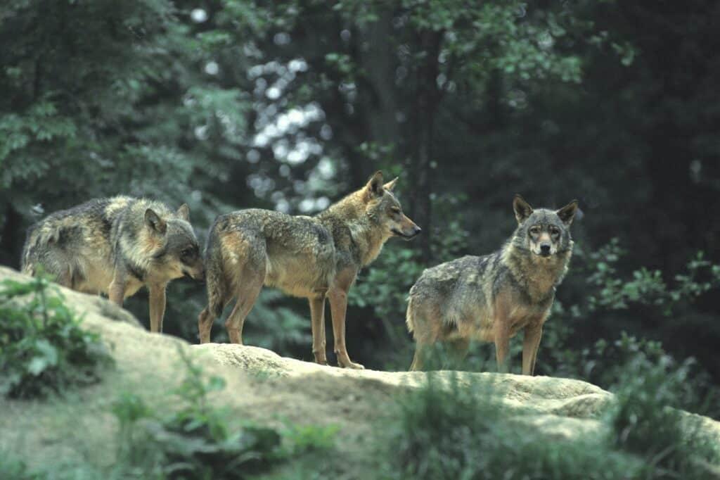 Wölfe - Canis lupus