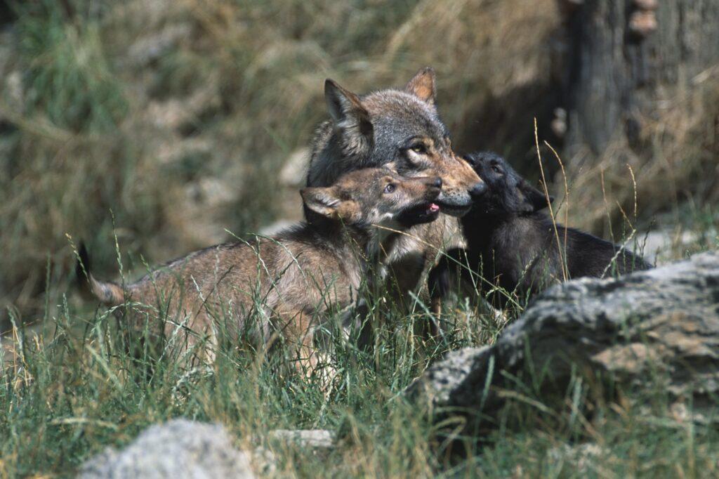 Wolf mit Welpen - Canis lupus