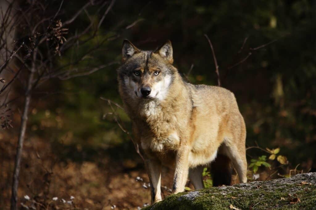 Wolf steht auf einem Felsen - Canis lupus
